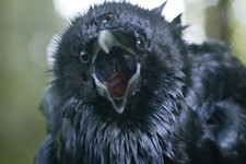 Explaining the Significance of Ravens on 'Game of Thrones'