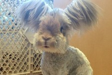 Meet Wally, The Fluffy-Eared Bunny the Internet Is Obsessing Over