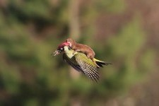 Meet #WeaselPecker, The Internet's Latest Obsession