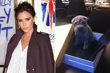 Awww: Victoria Beckham Got an Adorable New Puppy!